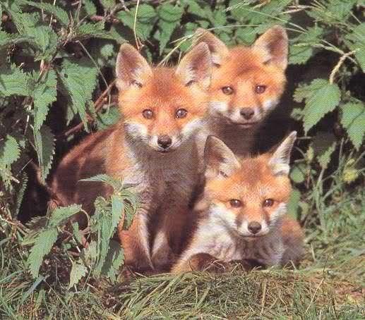Animaux renard - Renard mignon ...