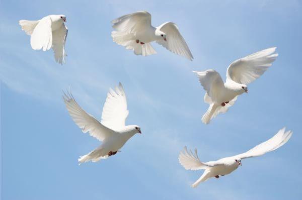 Animaux Oiseaux - Vol des colombes au ciel