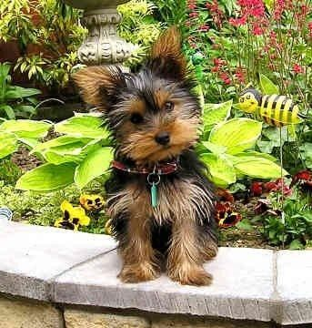 Animaux Chien Race Yorkshire