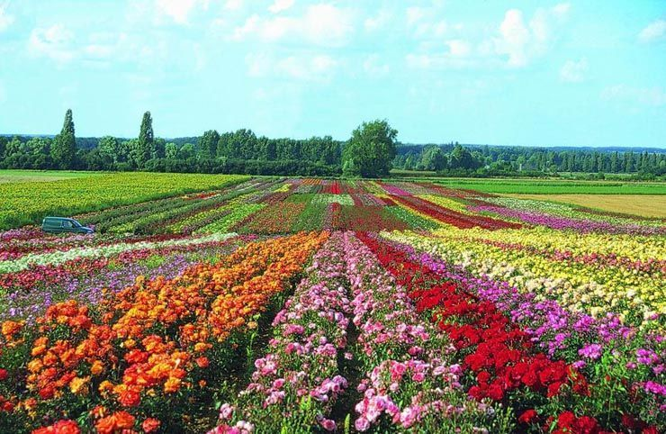 Nature fleurs - Jardin de la rose doue la fontaine ...