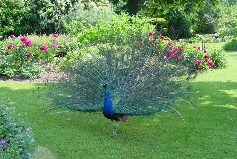 Animaux - Oiseau Paon en éventail