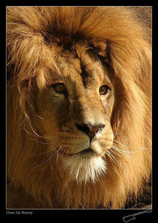 Animaux - Lion cadre